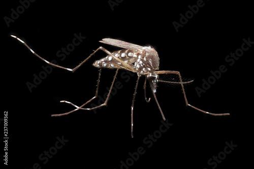 Aedes aegypti orthogonal - 237009362