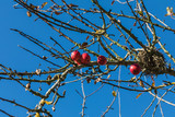 close up of red apple tree, blue sky in background