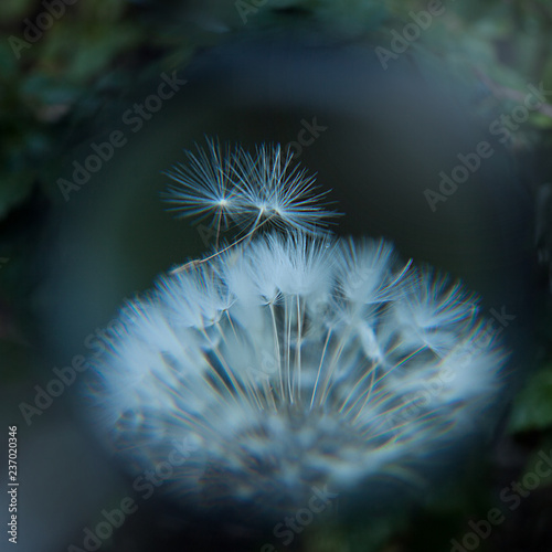 dandelion on black background - 237020346