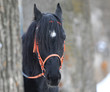 portrait of a black horse in the park in winter