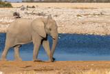 An elephant ( Loxodonta Africana) walking near the water hole, Etosha National Park, Namibia.