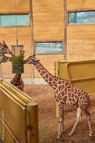 Naklejka  giraffe in zoo