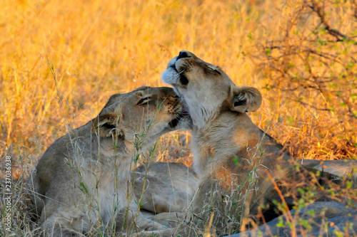lionesses cuddling in the savannah