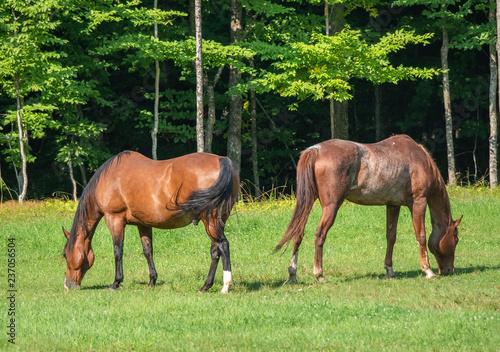 Gypsy horses grazing pasture