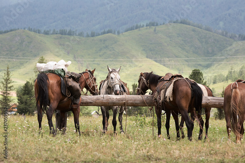 Horses in the Altai Mountains