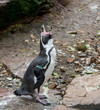 Penquin posing outdoor on rocks of local zoo habitat.