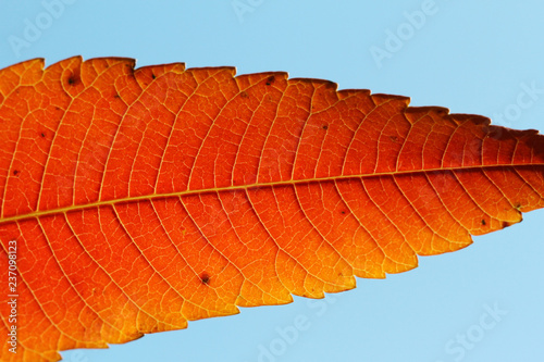 red leaf texture on blue sky background - 237098123