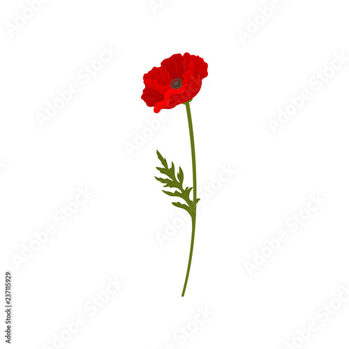 Blooming red poppy flower with stem, floral design element vector Illustration on a white background - 237115929