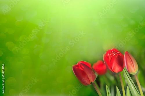 fototapeta na ścianę Closeup of fresh tulip flowers on green background