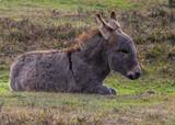Donkey New Forest