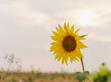 Beautiful sunflowers in the field natural background, Sunflower blooming. - 237131361