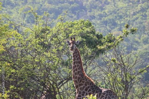 Plakat Żyrafa w Afryce