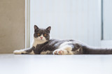 Cute British short-haired cat - 237137103