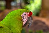 Closeup Military macaw