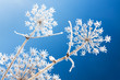 Leinwanddruck Bild - abstract flowers in frost on blue sky background