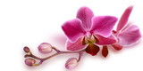 Pink Orchid with unopened buds on white background