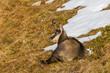 portrait chamois (rupicapra rupicapra), lying in grassland in autumn, snow