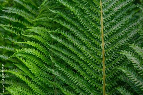 green leaf of fern