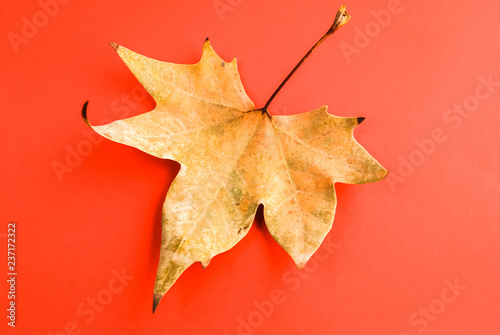 Dead autumn leaf on red. Red background. Autumn leaf. Maple leaf. - 237172322