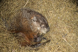 Woodchuck hibernating taken under controlled conditions in Minnesota - 237173508