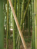 Thick forest of green bamboo, growing in different direction with an orange stick in the center and a sunny brown ground