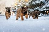 cute puppies briard dog walk through the snowy forest