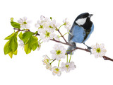 blue colored tit on cherry tree blossoming branch isolated on white