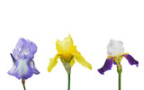 Close-up of blue and yellow iris flowers isolated on a white background