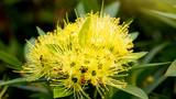 Golden Penda or Xanthostemon chrysanthus flower beautiful on a tree in the garden.