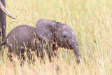 Elephant calf walking in the grass on the savanna with his mother