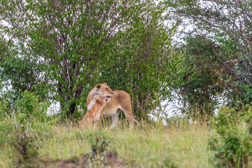 Lioness with cub cuddling in a grove of trees