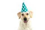 DOG BIRTHDAY OR NEW YEAR CELEBRATION. WEARING A GREEN AND WHITE POLKA DOT PARTY HAT AND SMILING. ISOLATED AGAINST WHITE BACKGROUND WITH COPY SPACE.