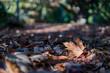Quadro Close up shot of a dried fallen maple leaf