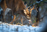 A close-up of a buck whitetail deer with his nose to the ground.