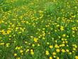 Yellow flower field of dandelions - 237261707