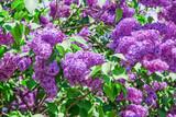 Blooming varietal selection purple lilac (Syrínga). The Sort Of