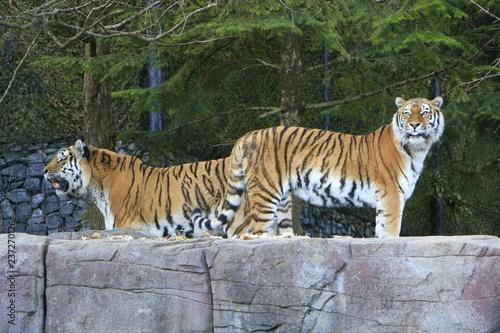 Plakat Tiger im Zoo Zürich