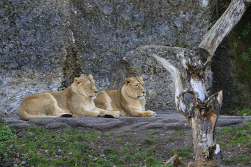 Löwinnen im Zoo Zürich