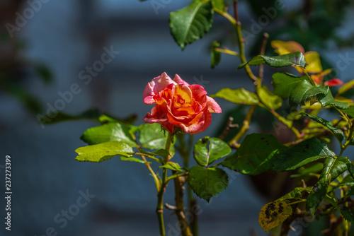 Blüte iner Rose Rot Gelb