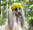Dog breed dog Afghan Hound  lying on the lawn in a wreath from dandelions