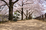 Himeji, Japan, cherry blossom season
