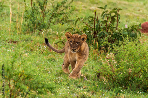 Plakat Lion in Welgevonden Game Reserve