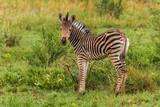 Zebra in Welgevonden Game Reserve