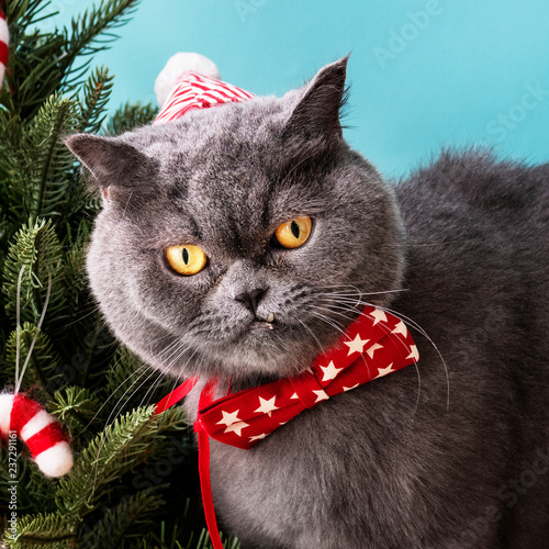 Leinwandbild Motiv Scottish Fold cat wearing a red bow celebrating Christmas
