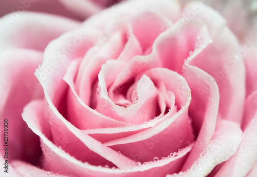 Pink roses - 237300130