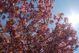 Sunlight shining on the cherry blossom tree