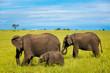 Quadro Group of african elephants walking on the savannah