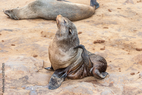 Naklejka Cape fur Seal colony at Cape Cross, Namibia, breading season.