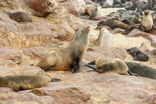 """Постер, картина, фотообои """"Cape fur Seal colony at Cape Cross, Namibia, breading season."""""""