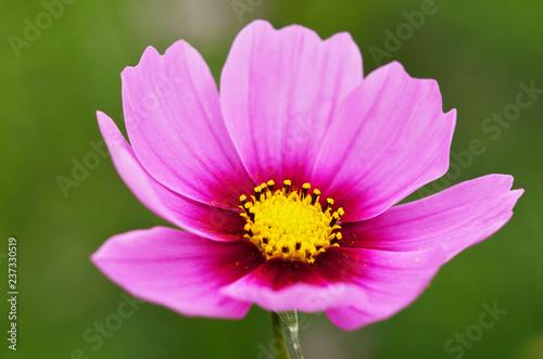 コスモスの花 - 237330519